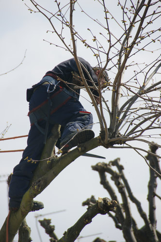 Tree trimming and pruning
